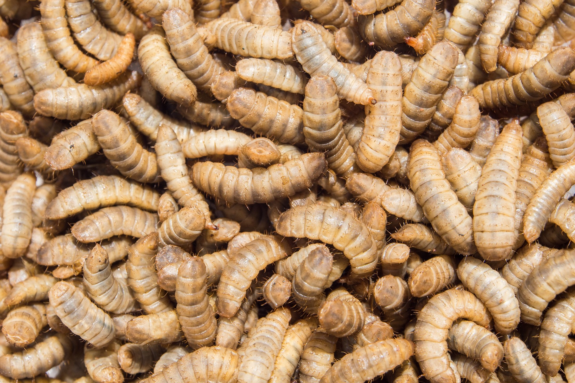 black soldier fly larvae